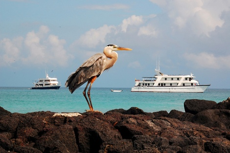 Great Blue Heron poses in front of our boat, Galapagos, por blinking idiot