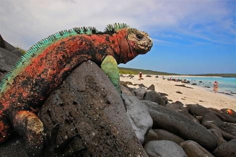 Marine Iguana, Espanola Island, Galapagos, por blinking idiot